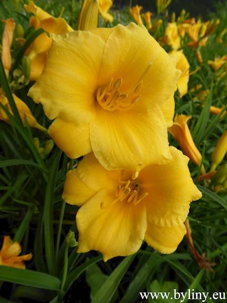Hemerocallis Stella de Oro C1,5