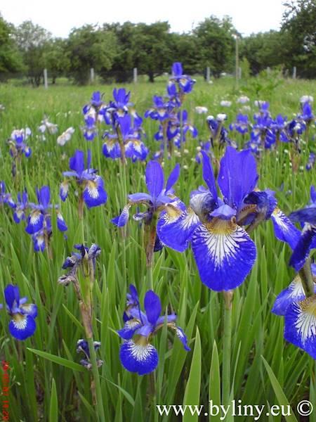 Iris sibirica C1,5