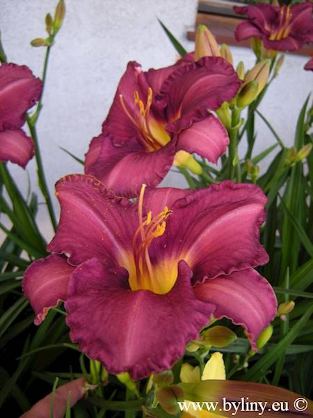 Hemerocallis Grape Velvet C3