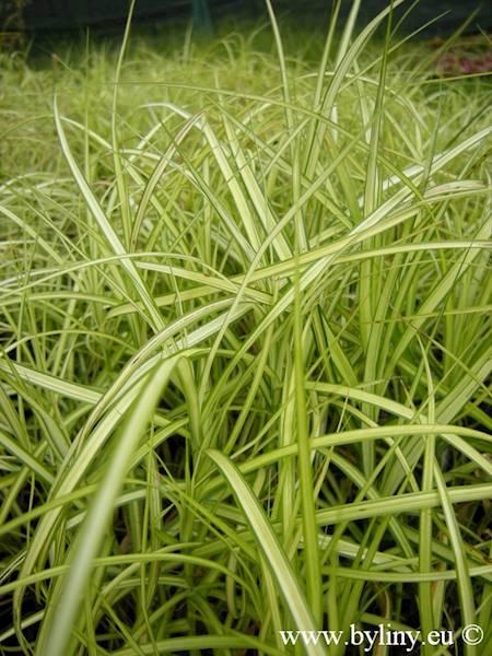 Carex muscingumensis Aureovariegata  C1,5