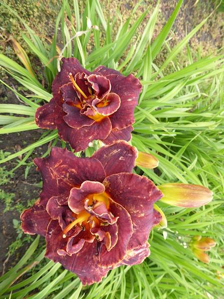 Hemerocallis Night Embers C3