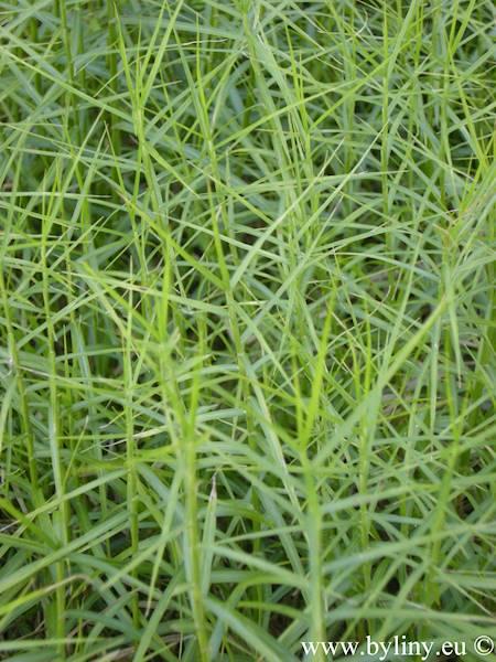 Carex muscingumensis Little Midge p11