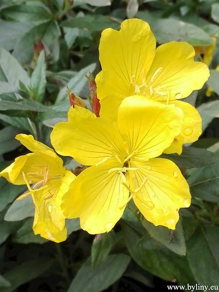 Oenothera C1,5