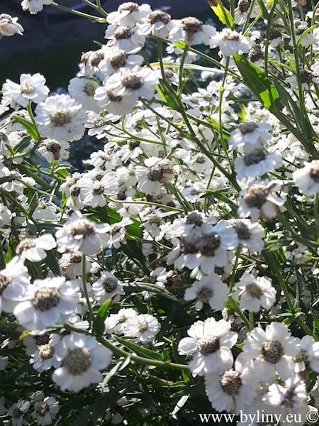 Achillea ptarmica The Pearl C1,5