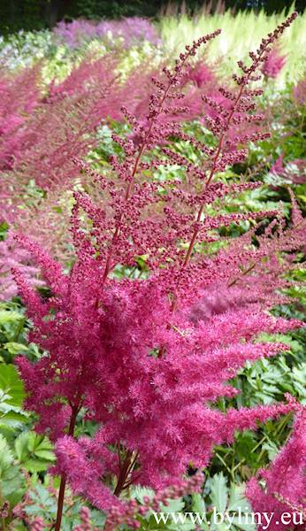Astilbe chinensis Mighty Red Quin C3