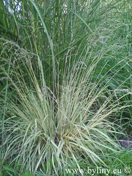 Molinia caerulea Variegata C1,5